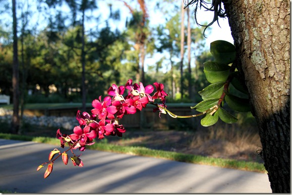 Orchid Tree