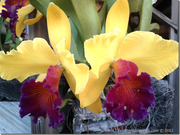 Donna's Orchid
