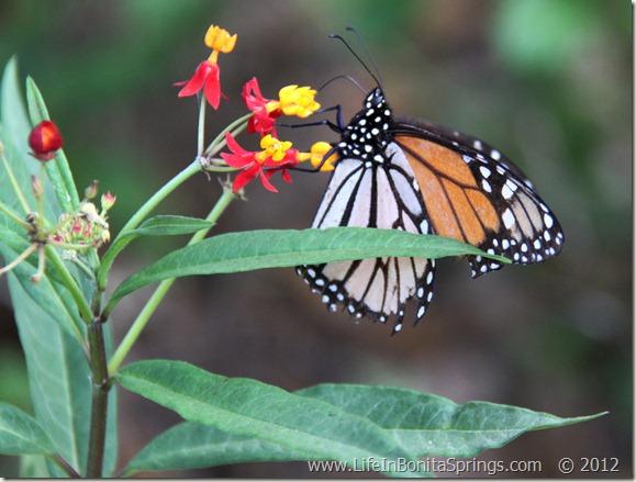 Monarch Butterfly Bonita Bay
