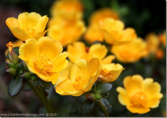 Moss Rose Butterfly Garden