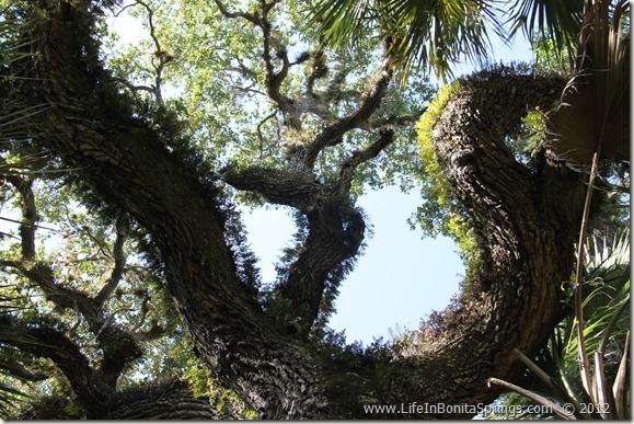 Oak Tree at Crew