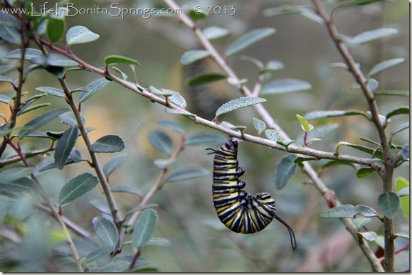 Hanging Monarch Caterpillar