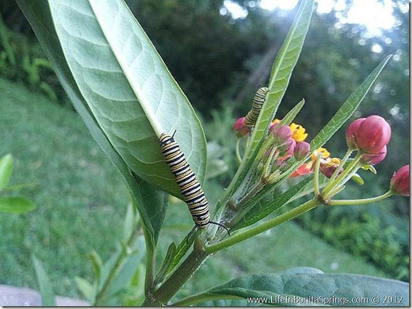 Monarch Caterpillar Bonita Springs