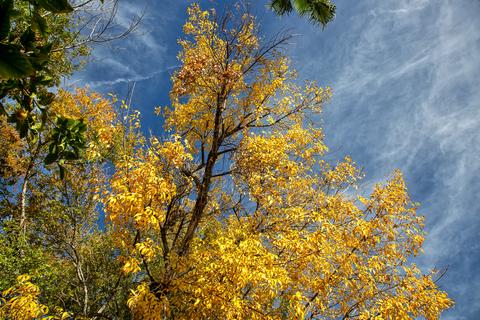 Arizona Ash Tree Changing Colors