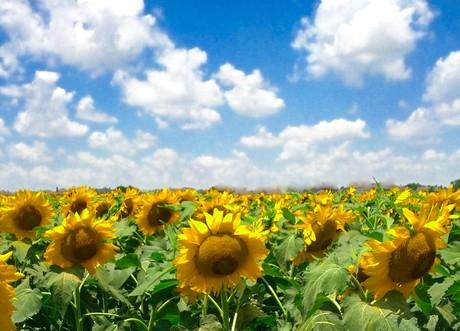 Allen Texas Sunflower Field