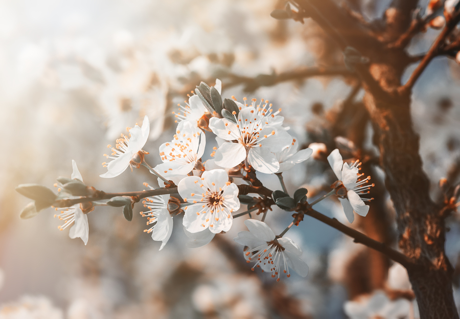 Go to the Blossom Festival on Saratoga real estate.