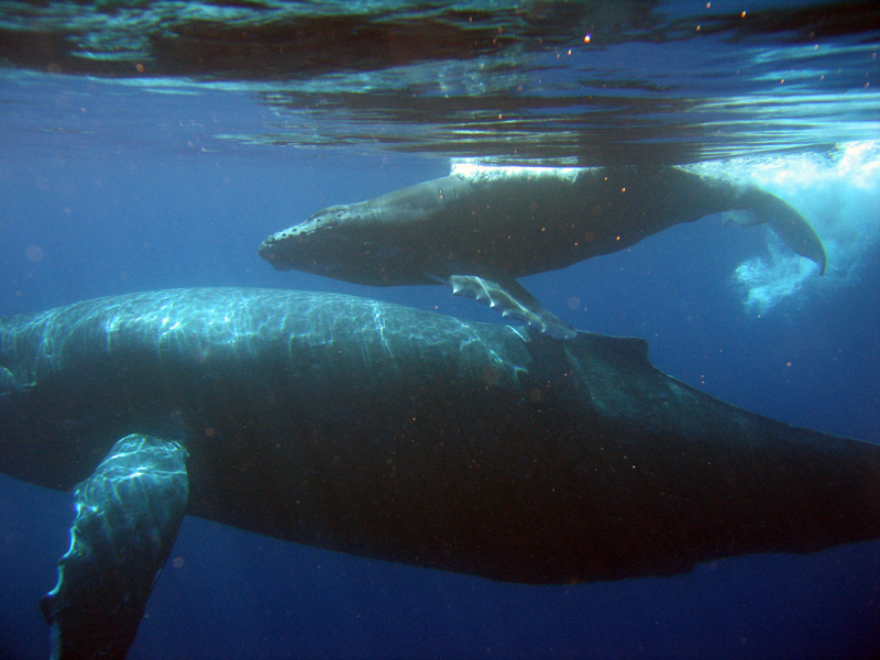 Mother and Baby Whale Calf
