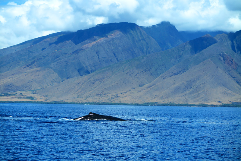 Maui's Best Whale Watching tours