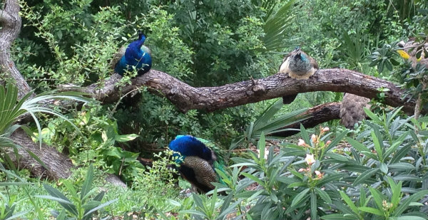 Cocoa Beach Peacocks