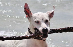 Dog Holding Enormous Stick in Mouth at Minnetonka Dog Park MN