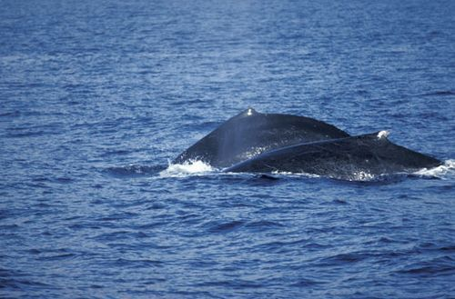humpback-whales-off-maui