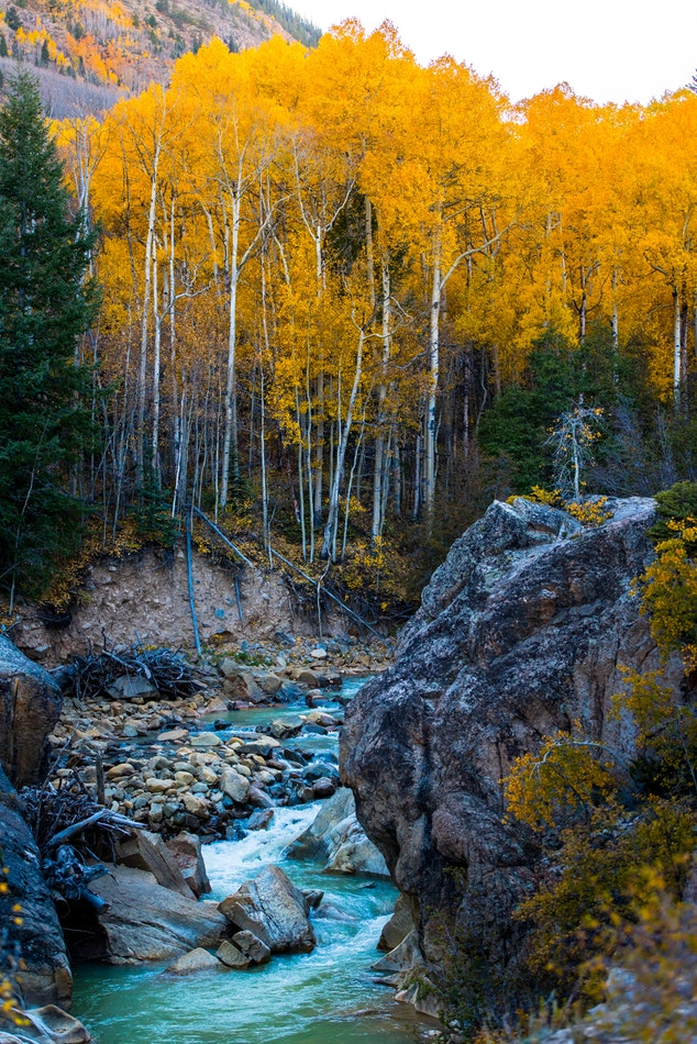 Aspen Colorado Fall Leaves  | Real Estate and Lifestyle in Northern Colorado, a blog by Joanna Gyrath, Realtor | Search homes in Fort Collins, Loveland, Greeley, Windsor, Longmont, Laporte, Wellington, Timnath, Severance, Eaton, Evans, Livermore, Red Feather Lakes