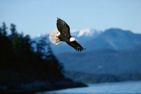 Eagle over Lake