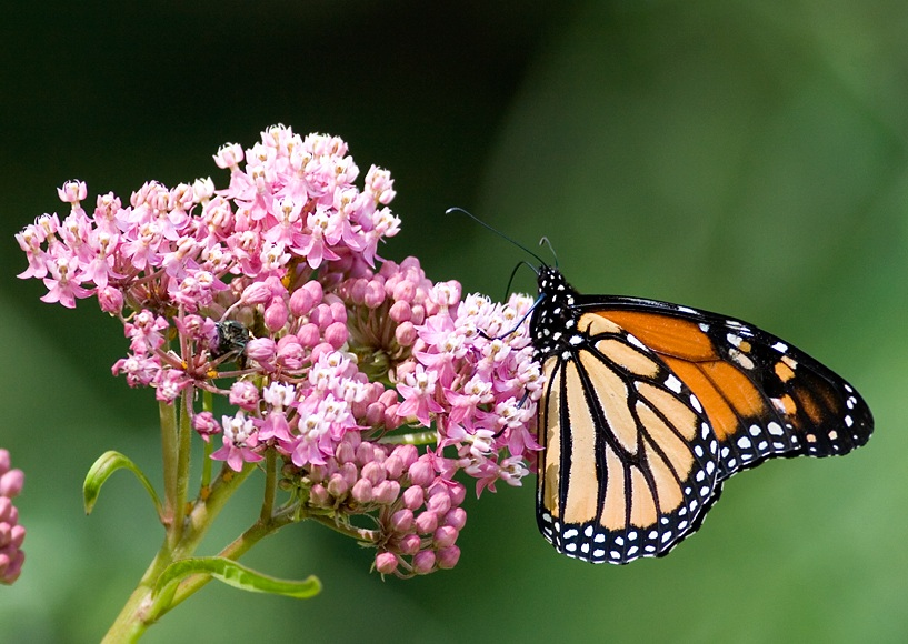 monarch butterfly at wilmette prairie garden