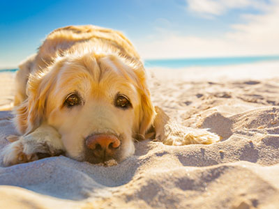 Image of Dog Laying on Sand