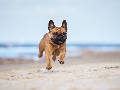 Image of Small Dog Running on Beach