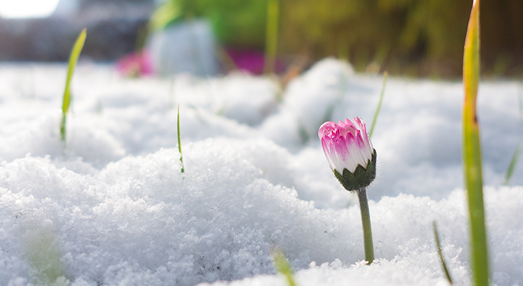 Spring is here - Flower in Snow coming up