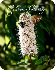California Buckeye