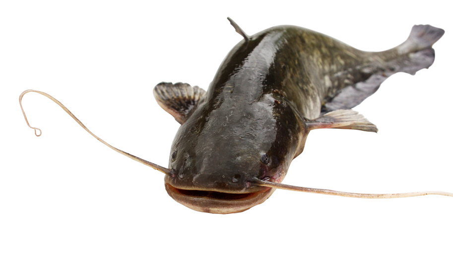 Pinellas County Foreclosures Need Catfish