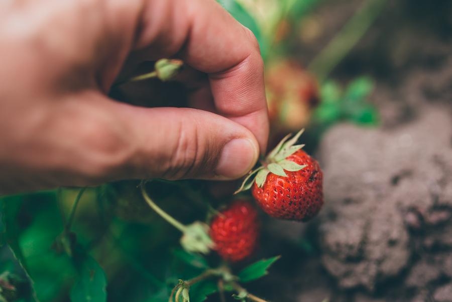 Pick strawberries grown on Germantown property.