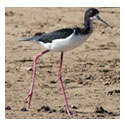 Black Necked Stilt Bird