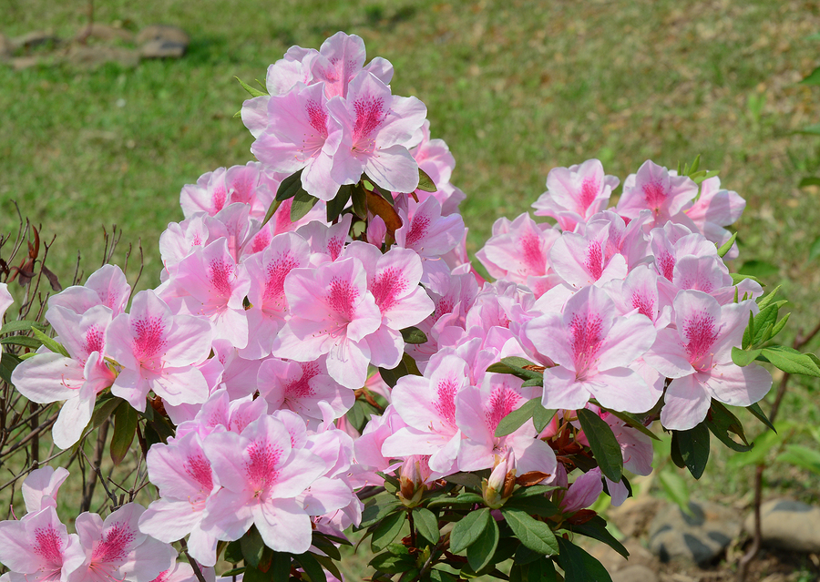 Zanesville home owners love azaleas.