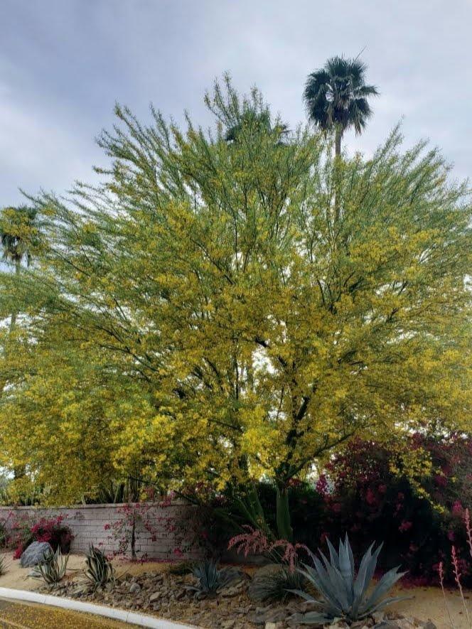 Blooming Acacia Tree In Palm Springs CA