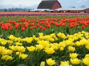 Tulips/barn