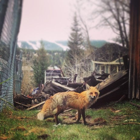 Fox in Breckenridge