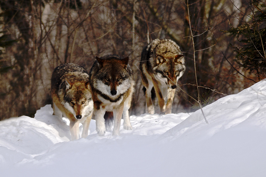 Learn about wolves at your Sedona property.