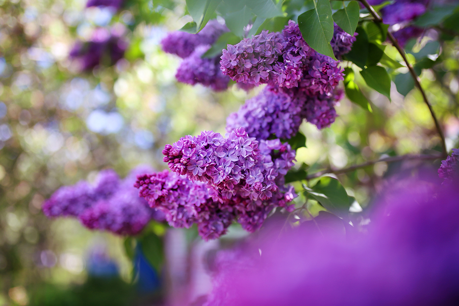 Visit the lilacs planted near Lombard homes.