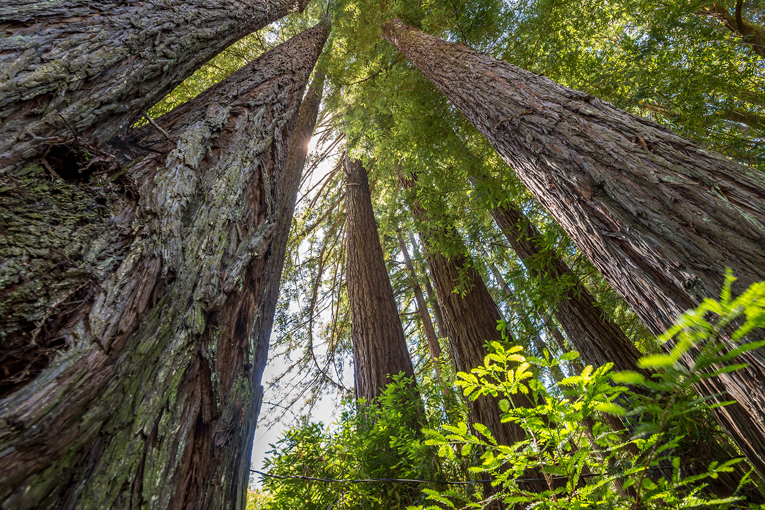 Redwoods of Armstrong Woods