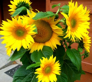 Guerneville Neeley Sunflowers