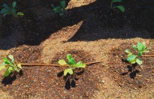 First Plants In Community Garden