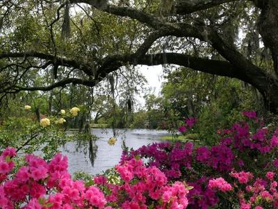 Airlie Gardens - Azaleas