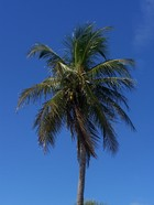 Case Key Palm Tree