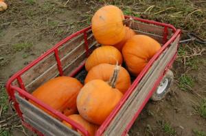 wagonfull of pumpkins