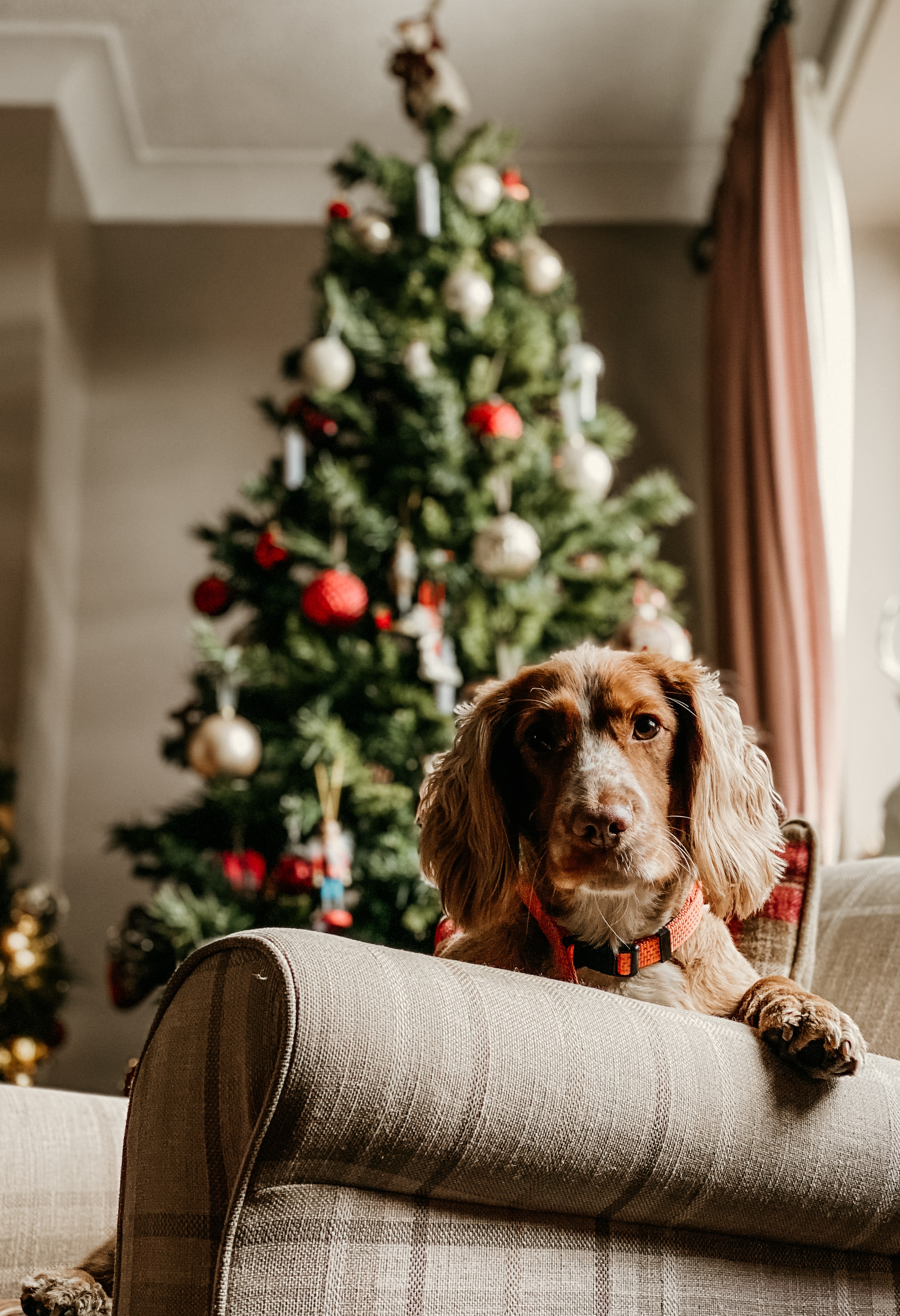 Dog on couch with Christmas tree in the background