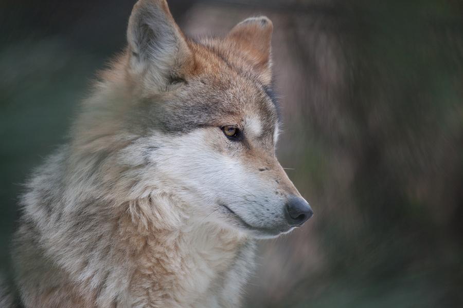 Meet the wolves living near Eureka homes.