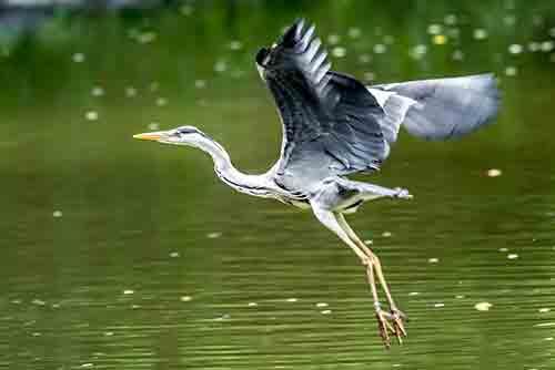 New Port Richey Blue Heron