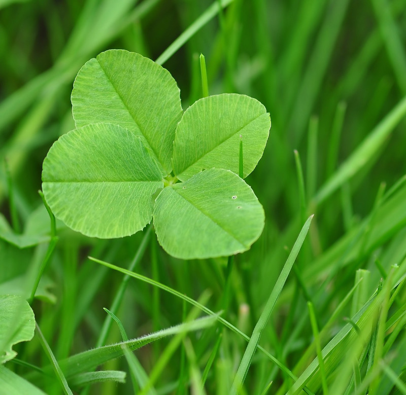 A four leaf clover grows amongst grass
