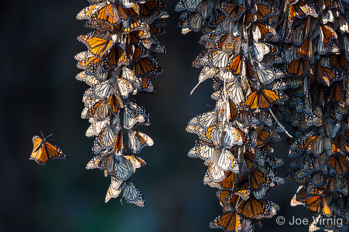 Monarch butterfly landing on a cluster of other butterflies