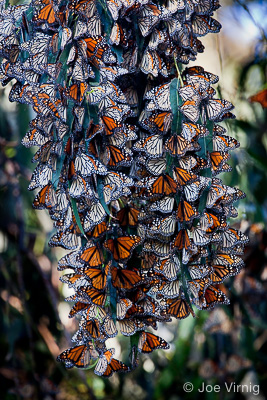 Cluster of hundreds of monarch butterflies at Camino Real Park in Ventura