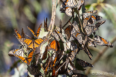 Monarch Butterflies, Ventura