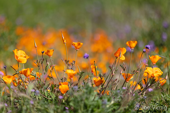 California Poppies along the Peninsula Trail in the Conejo Canyons