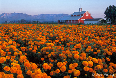 Field of Marigolds with a Red Barn in the Background