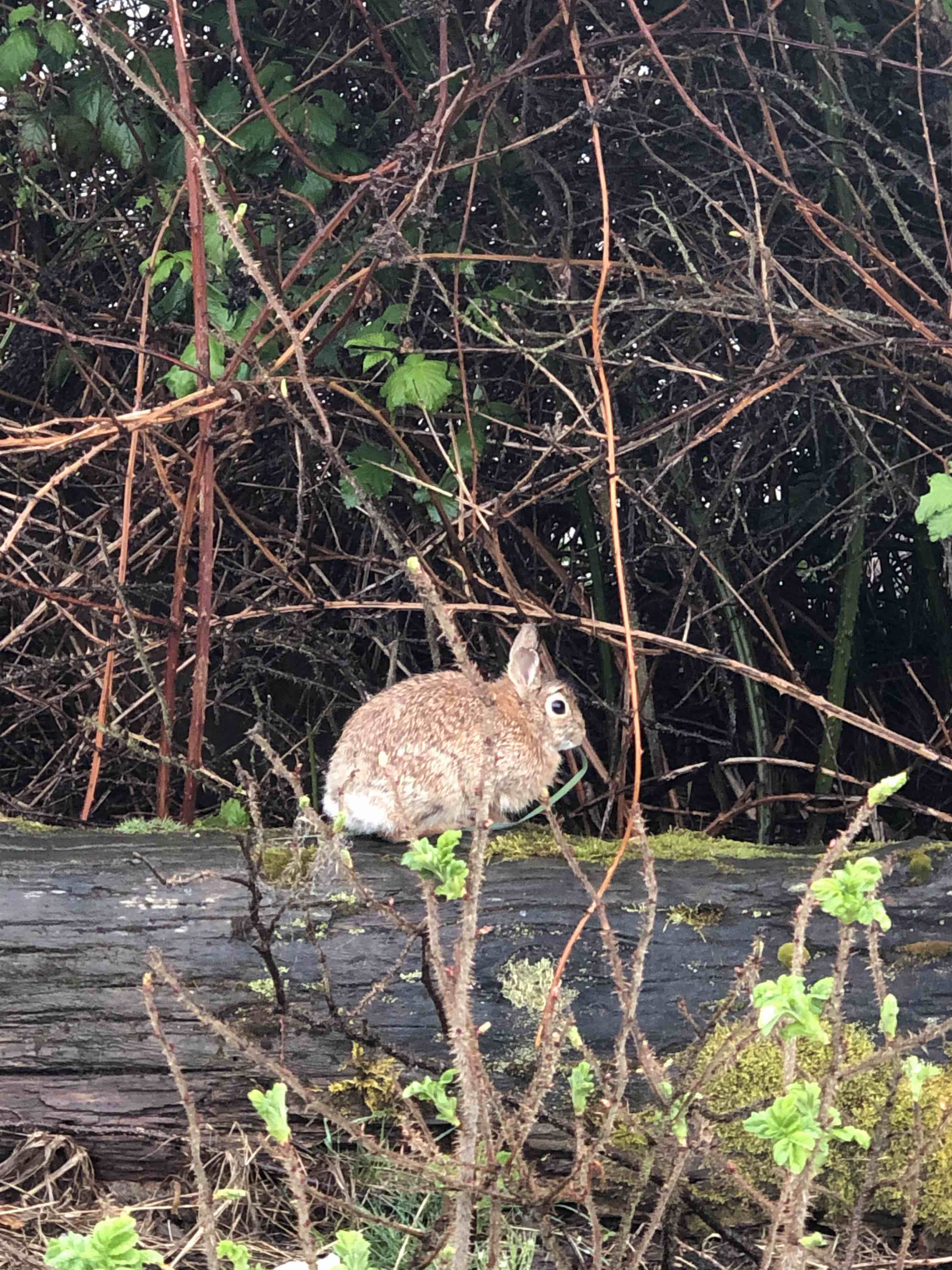 Elise Russo saw lots of bunnies in Seattle 2020