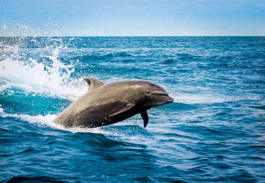 See dolphins near North Myrtle Beach properties.
