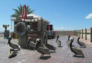 Pelicans at St Petersburg Pier